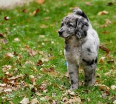 chien, dogs,golden,retriever,berger australien,